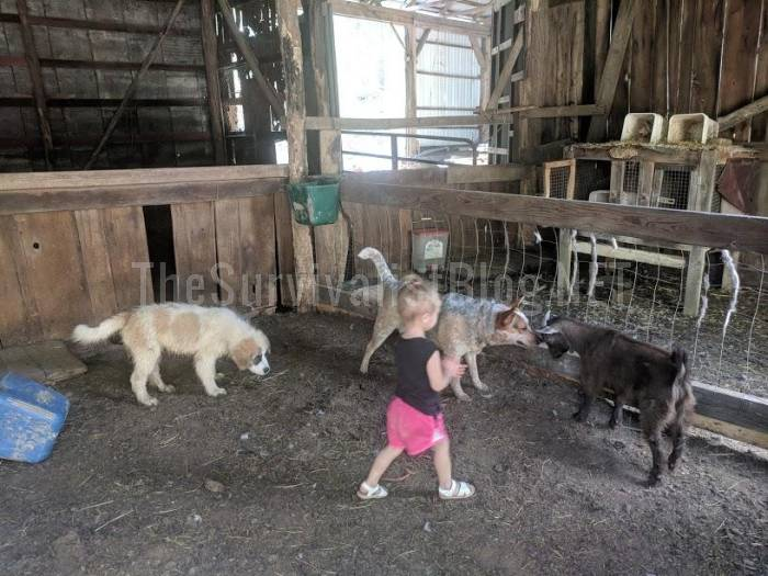 child-playing with goats and dogs