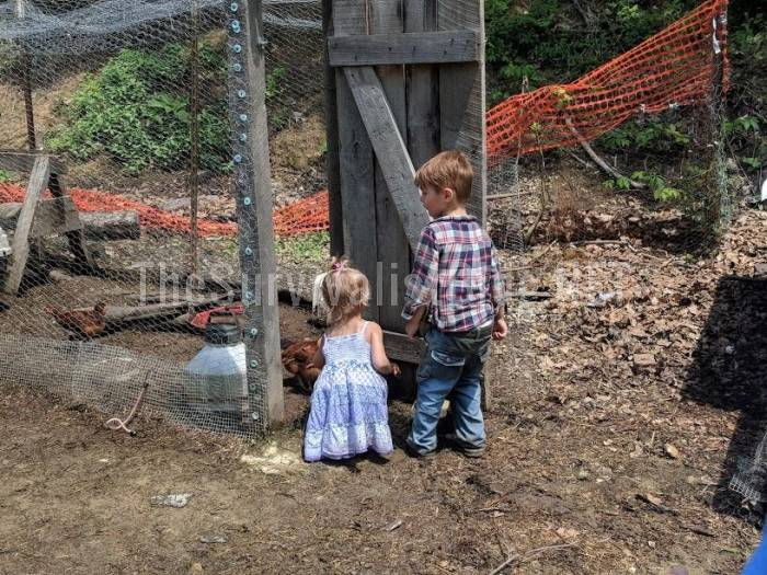 children collecting eggs inside the chicken run