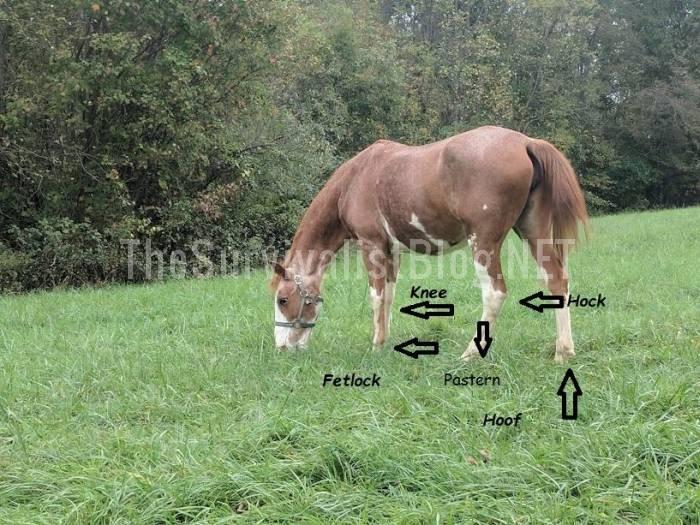 horse leg terminology