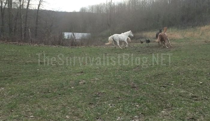 horses running on a survival retreat