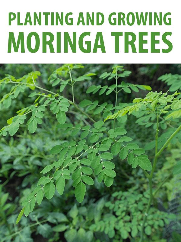 planting moringa trees pinterest
