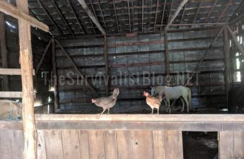 chickens hanging out in the barn
