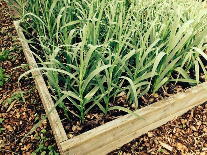 garlic in grow box