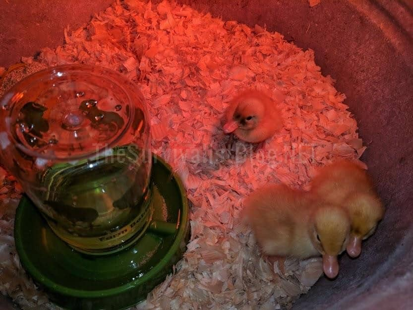 baby duckling in brooder