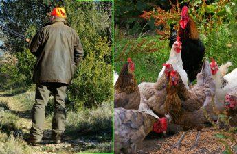 hunting vs raising livestock