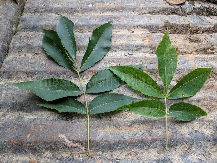 shellbark tree leaves