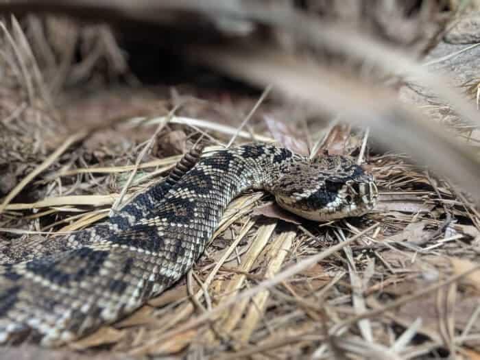 Black Diamond Rattlesnake