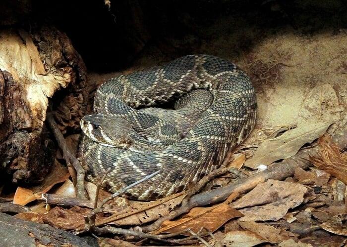 eastern diamonblack snake