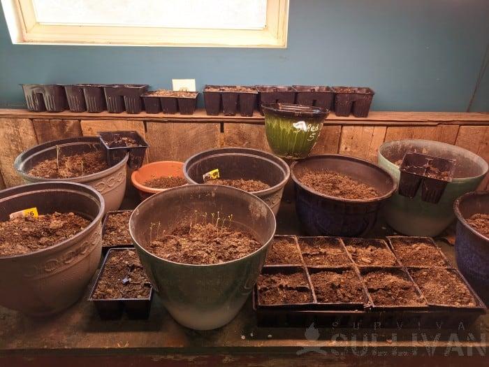 fruit tree seeds in indoor containers