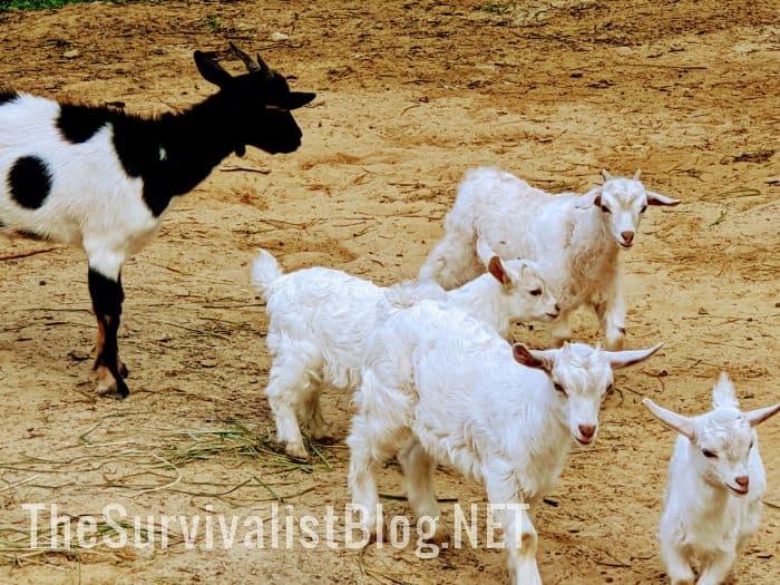 white pygora goats