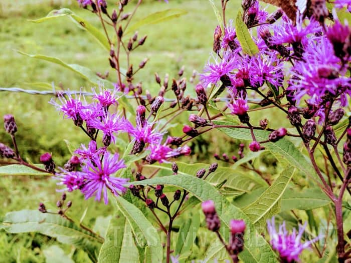 ironweed flowers