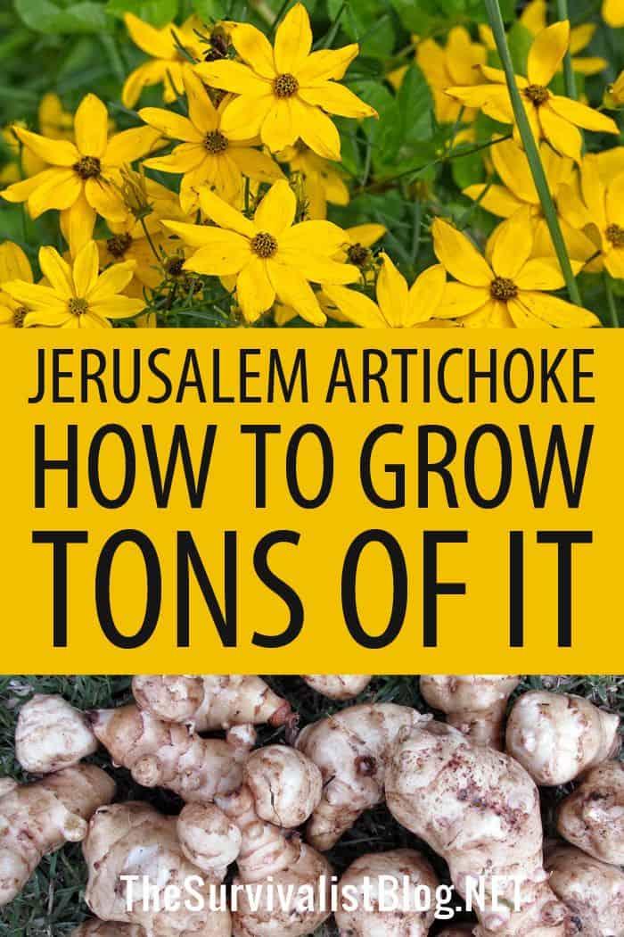 Jerusalem artichoke Pinterest image
