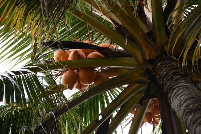 king coconuts