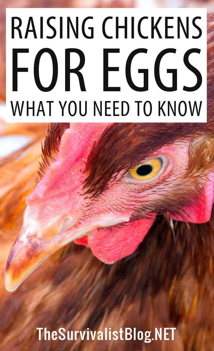 eggs chickens pinterest image