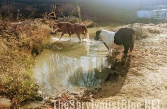 horses in small pond